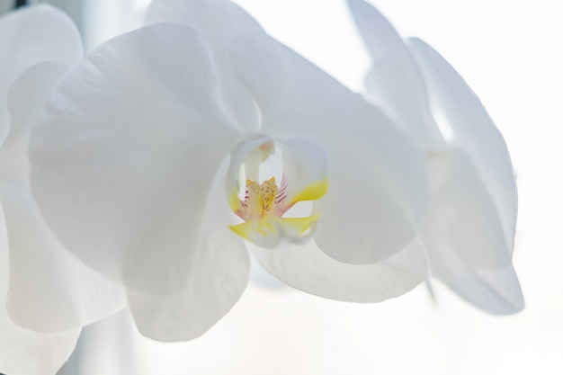 窓枠に咲く白い胡蝶蘭のコセップ。ハウスガーデニング、エキゾチックな植物
