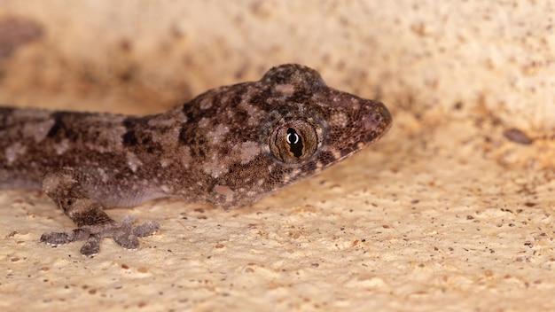 Cosmopolitan house gecko of the species hemidactylus mabouia