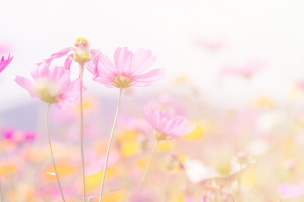 Cosmos beauty flowers