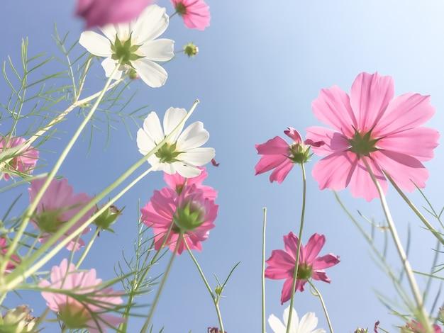 Cosmos fiori di bellezza