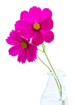 Cosmos dark pink flowers isolated on white