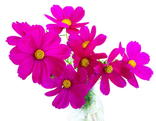 Космос темно-розовые цветы букет, изолированные на белом фоне