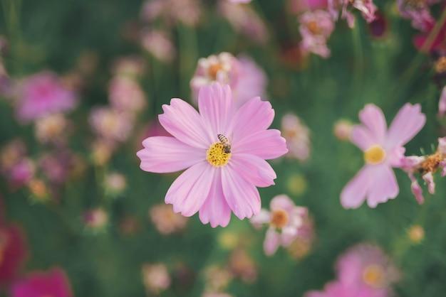 日光の下で咲くコスモスの花-画像