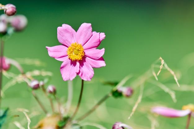 コスモスの花、コピースペース。美しい繊細なピンクの花。街の花壇に咲く。オオハルシャギク