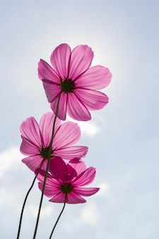 Cosmos flower (cosmos bipinnatus) for use background