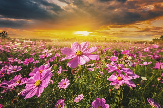 Cosmos flower field meadow and natural scenic landscape sunset