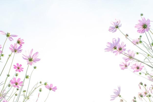 コスモス花畑