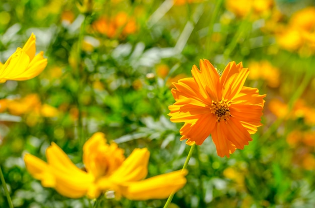 Cosmos flower on green background