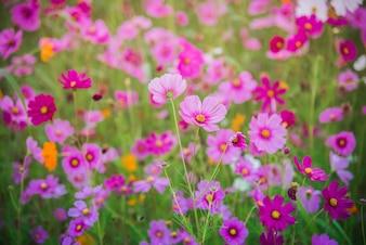 Cosmos flower of grassland