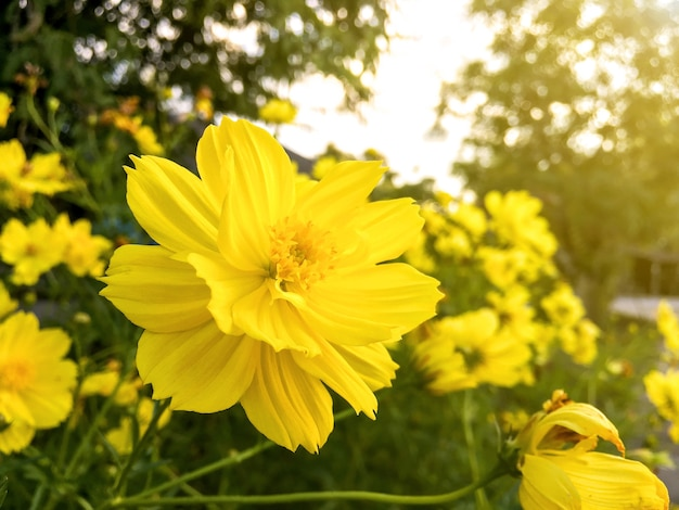 Cosmos flower and yellow starship flower on the  wayside