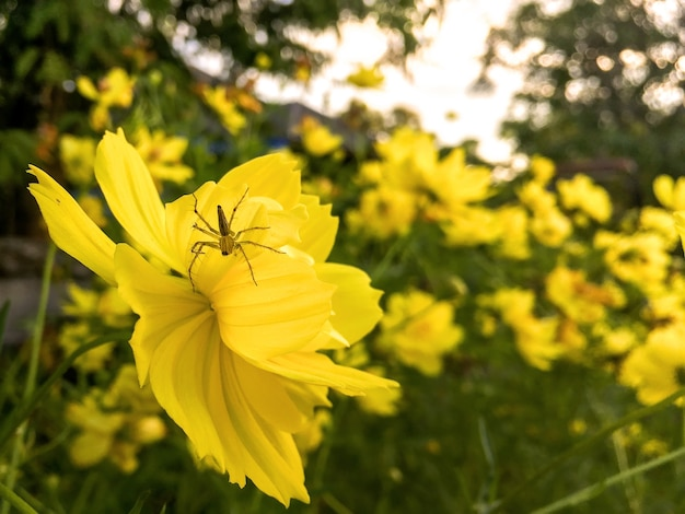 Cosmos flower and yellow starship with spider