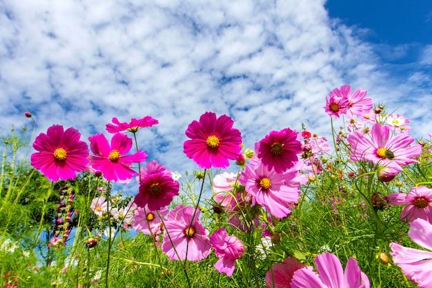 Космос цветы и голубое небо фон