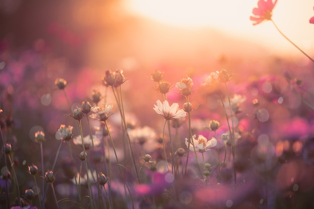 庭の背景に美しいコスモスの花