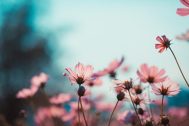 정원에서 아름다운 코스모스 꽃