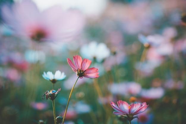 庭に美しいコスモスの花