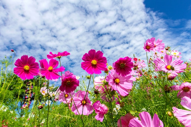 Cosmos flowers and blue sky background