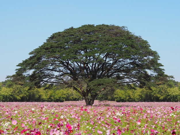 Cosmos flowers field and big tree