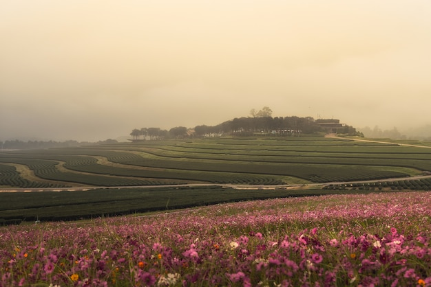 Cosmos flowers and green tea farm in the morning sunrise