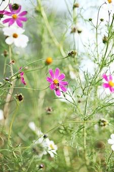 庭のコスモスの花