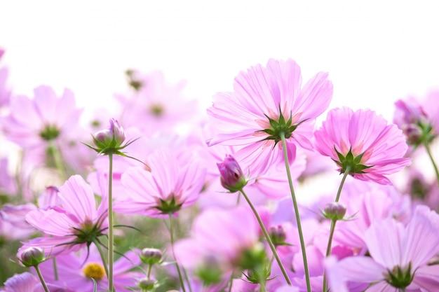 コスモス、花、白、背景