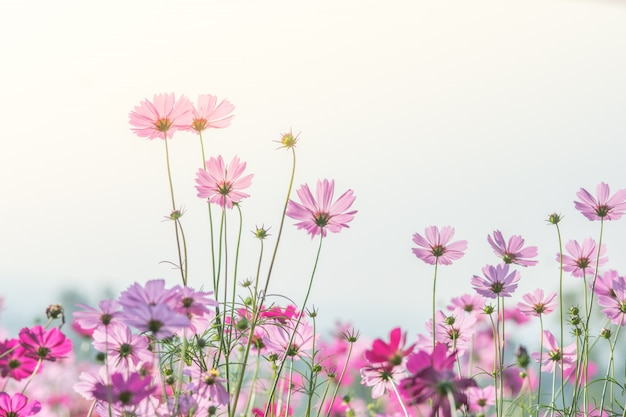 Cosmos flowers in nature