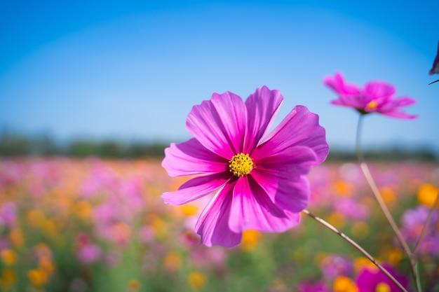 아침에 초원의 코스모스 꽃, 자연 꽃 개념