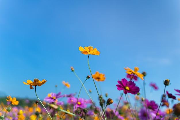 朝の草原のコスモスの花