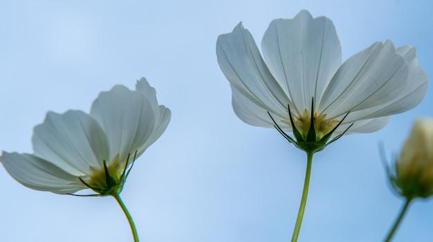青い空を背景にコスモスの花。