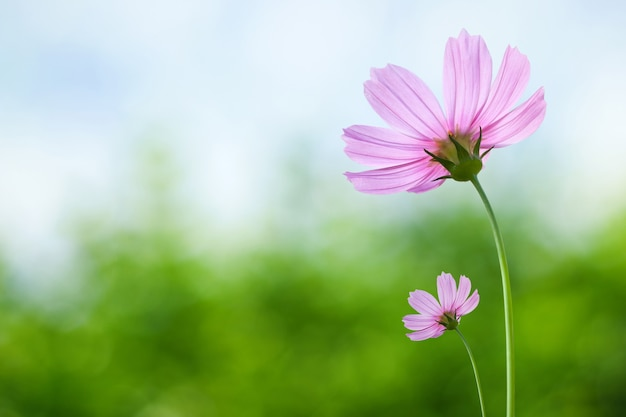 春の背景にコスモスの花