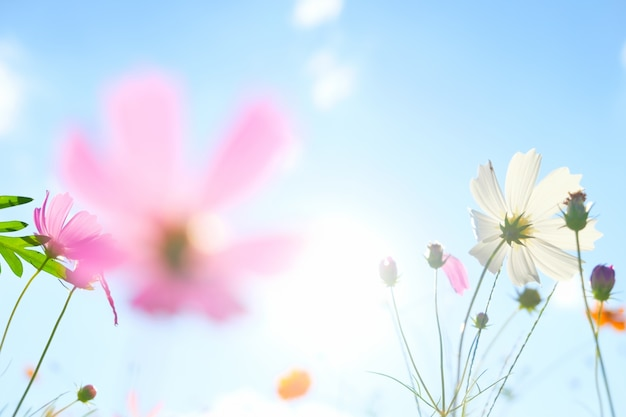 Cosmos flowers on sunlight