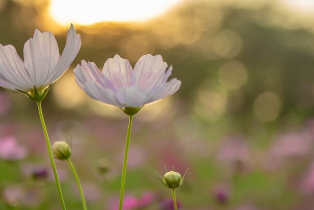 Cosmos flowers on twilight background with sun flare.