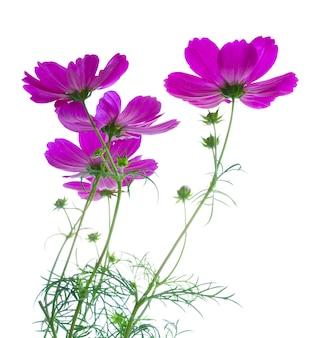 Космос свежие темно-розовые цветы и листья, изолированные на белом фоне