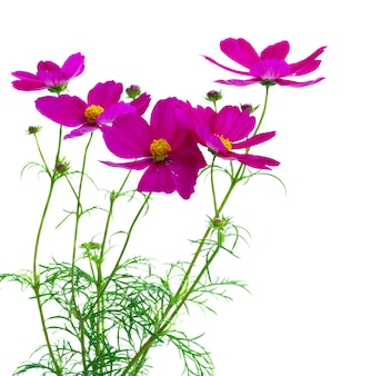 Cosmos fresh dark pink flowers isolated on white