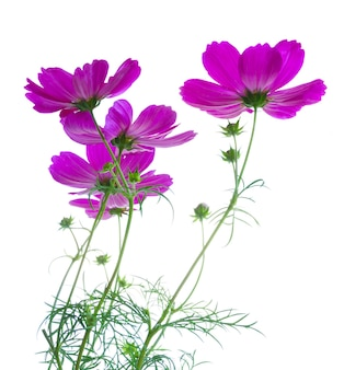 Cosmos fresh dark pink flowers and leaves isolated on white