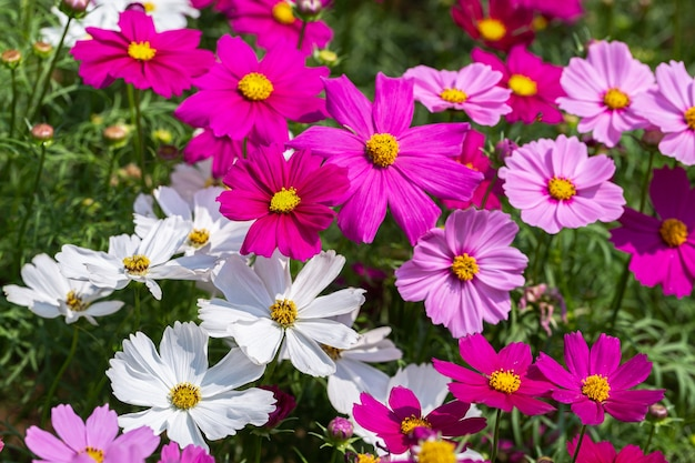 코스모스 또는 멕시코 애 스터 꽃 정원에서