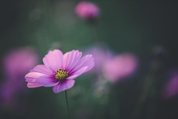 Космос розовый цветок крупным планом
