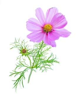 Cosmos pink flower with bud isolated on white
