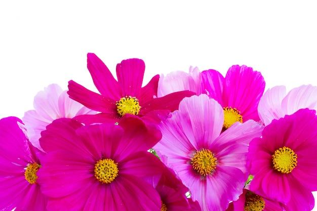 Космос розовые цветы границы, изолированные на белом фоне