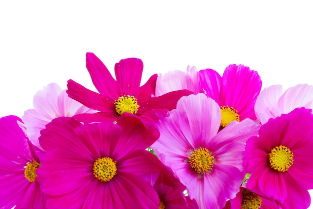 Cosmos pink flowers border isolated on white