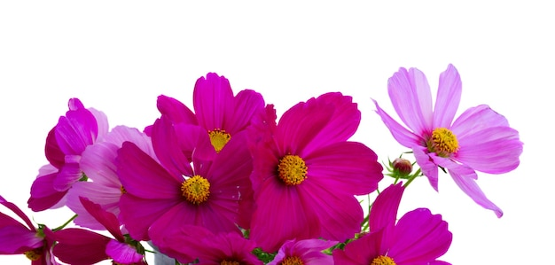 Cosmos pink flowers close up border isolated on white