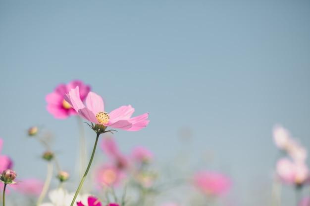 코스모스 핑크 꽃 가까이