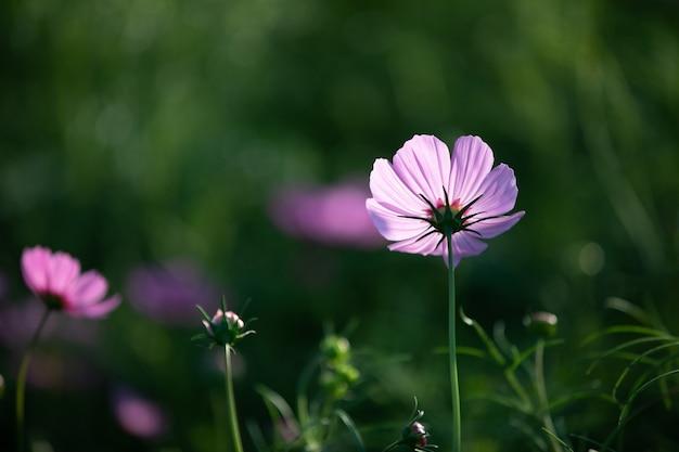 Космос розовые цветы крупным планом
