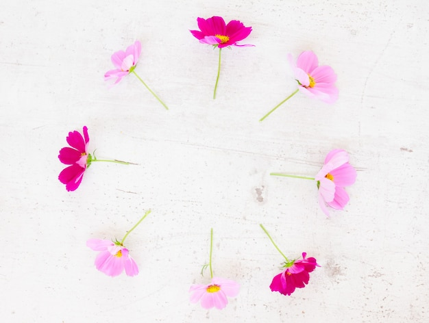 Cosmos pink flowers festive flat lay composition on white table