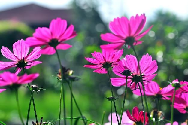 Cosmos, pink flowers in the garden