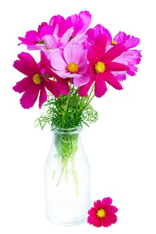 Космос розовые цветы в стеклянной бутылке, изолированные на белом фоне