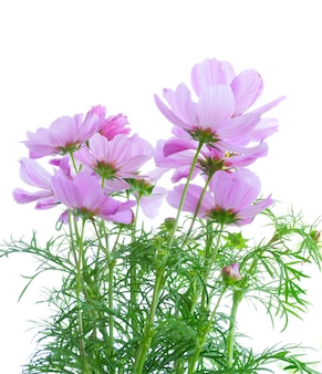 Cosmos pink flowers isolated on white