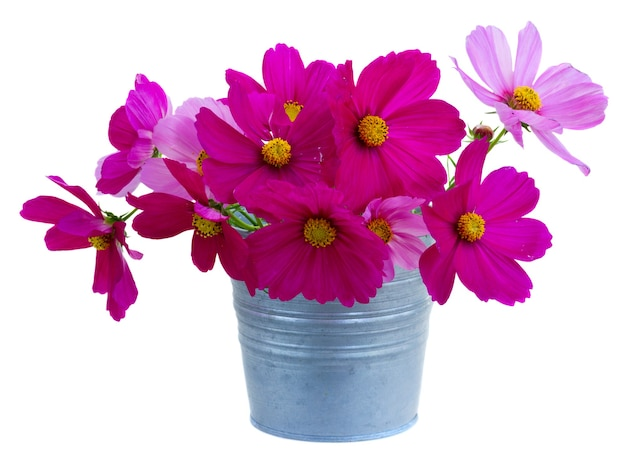 Cosmos pink flowers in pot isolated on white