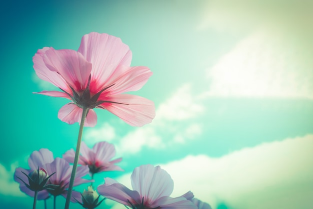 Cosmos pink flowers with blue sky retro filter as background