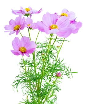 Cosmos pink flowers with buds and leaves isolated on white