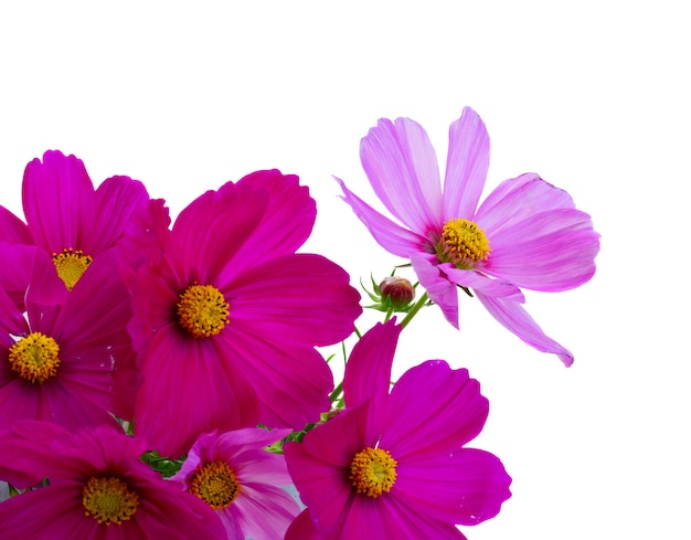 Cosmos pink fresh flowers close up border isolated on white